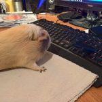Guinea pig on computer