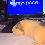 Guinea pig on myspace