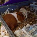 Sleeping Guinea Pig