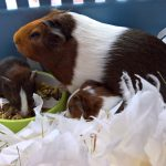 Baby guinea pigs with mum