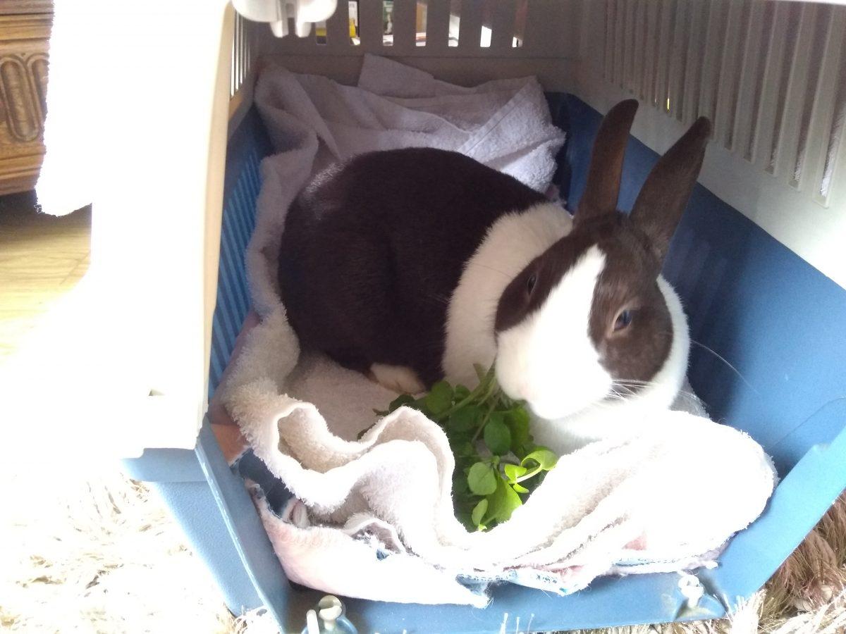 A Stray Bunny with Mammary Tumour
